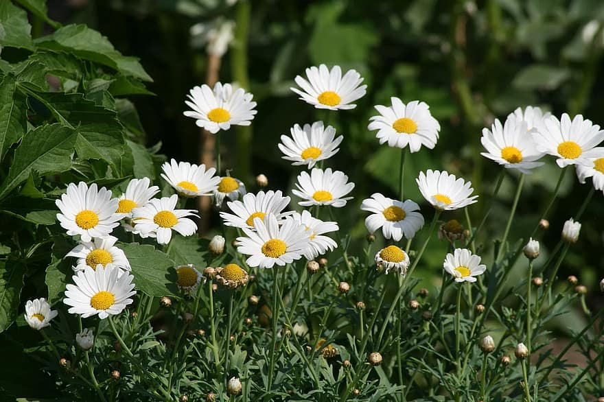 flower-chamomile-plant-beautiful-flower